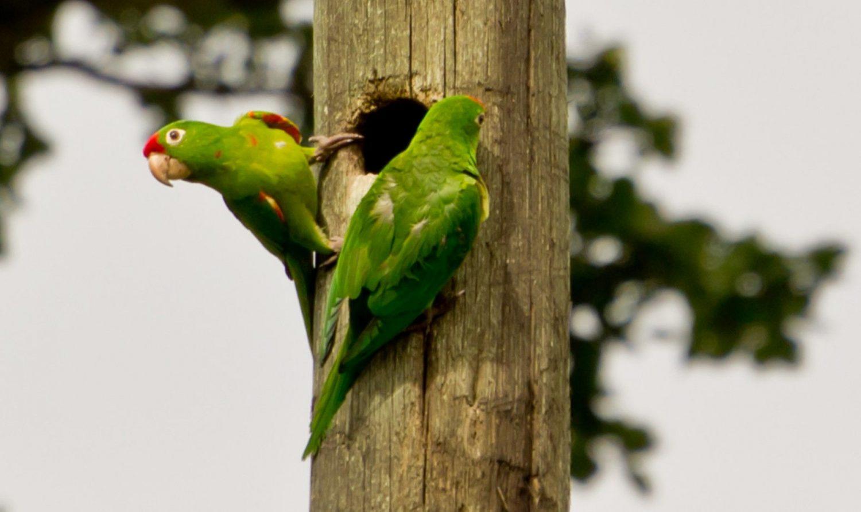 parakeets-monteverde-costarica