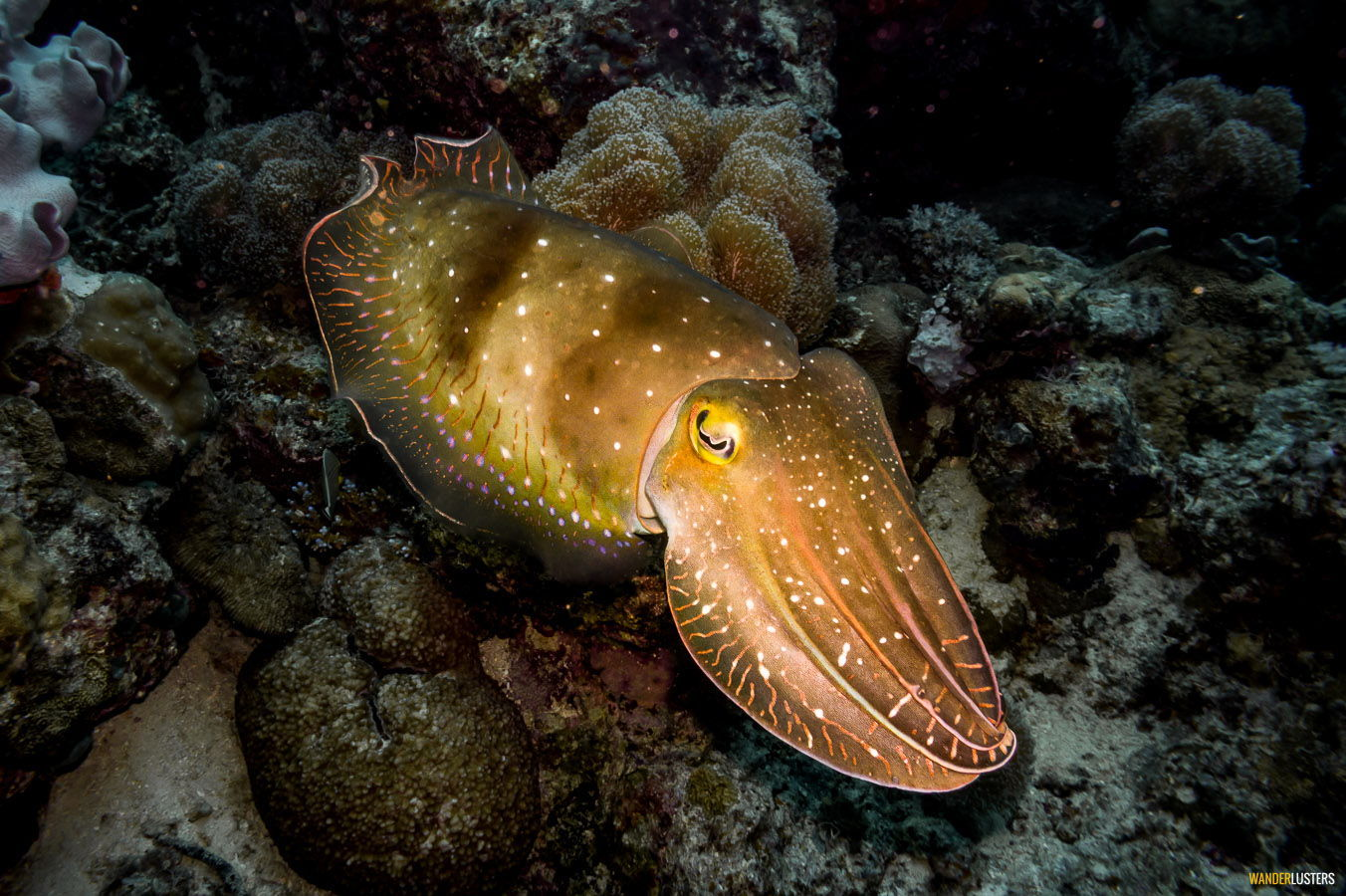 great-barrier-reef-cuttle-fish