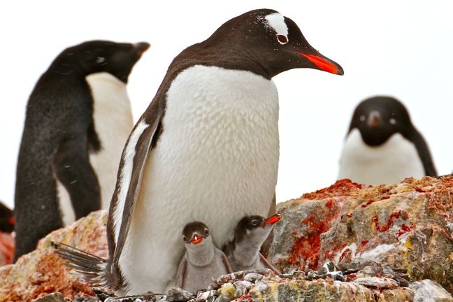 Travel Photo Roulette Gentoo Penguins on Ardley Island Antarctica - Green Global Travel