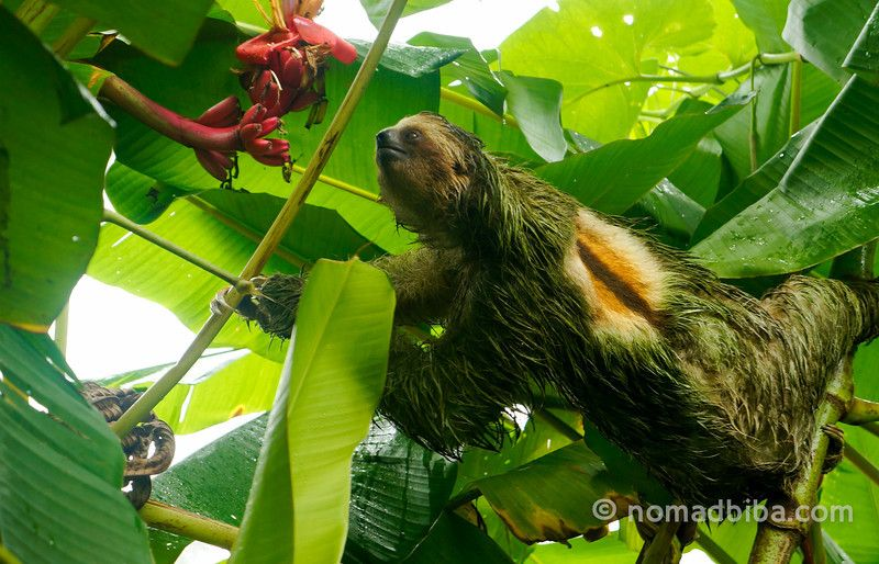 Travel Photo Roulette A Sloth in Costa Rica - nomadbiba