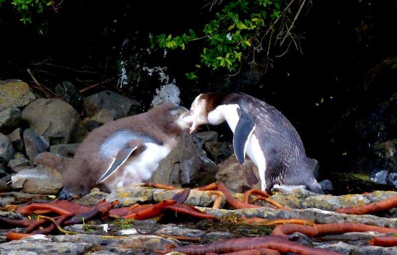 Travel Photo Roulette yellow-eye-penguins-feeding-flashpackatforty
