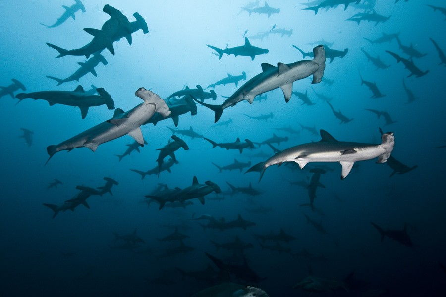 Costa Rica Top 5 Natural Wonders A School Of Hammerheads at The Cocos Island