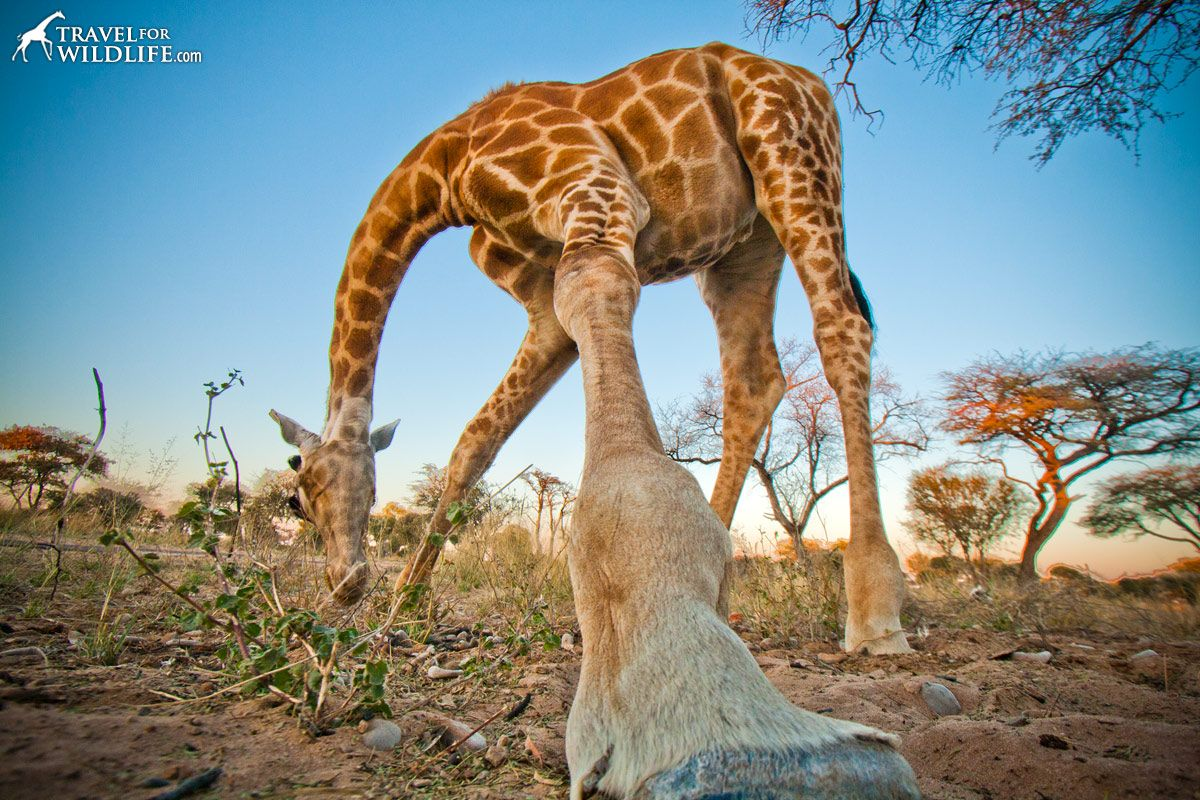 Life In The Kalahari  giraffe-botswana