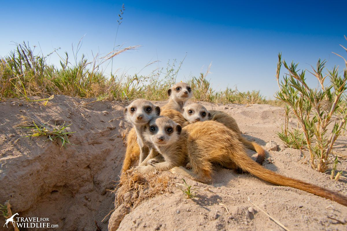 Life in the Kalahari meerkat-babies