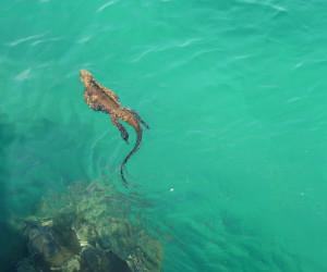 marine-iguana-santa-cruz-galapagos-islands