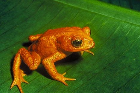 golden-toad-monteverde-costarica