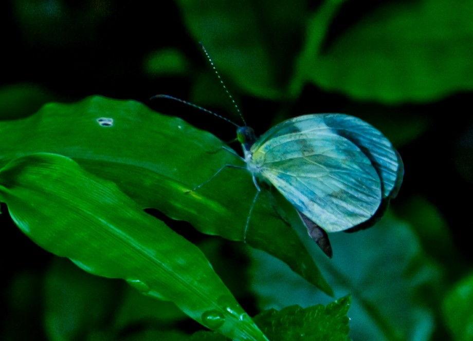 butterfly-monteverde-costarica