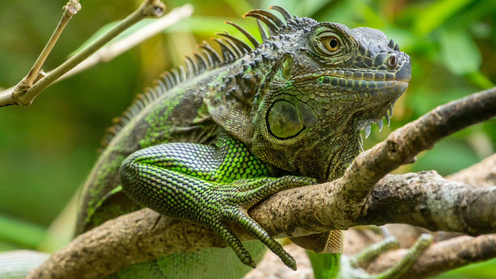 iguana-lafortuna-costarica