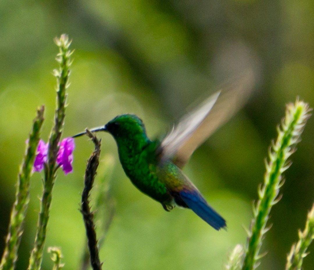 slider-hummingbird-monteverde-costarica