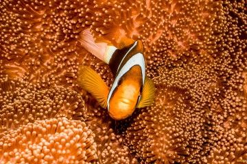 great-barrier-reef-anemone-fish