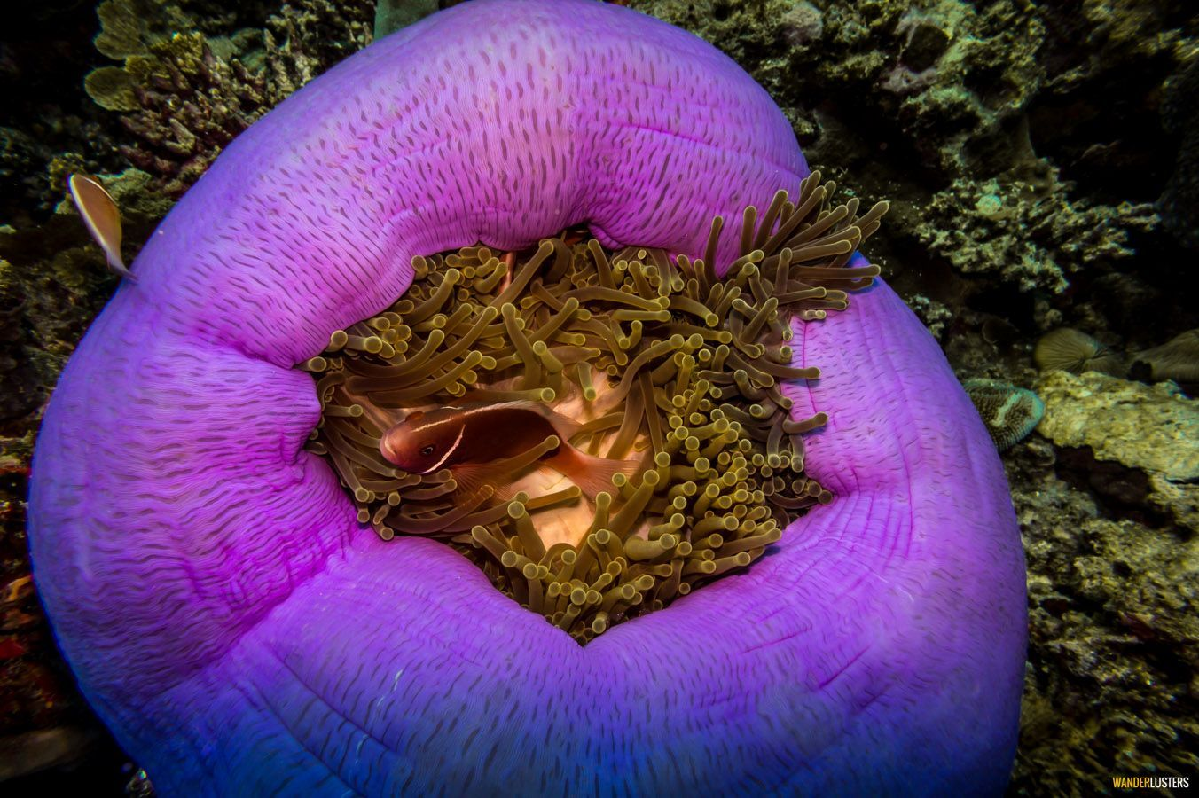 great-barrier-reef-anemone-coral-sea-colours
