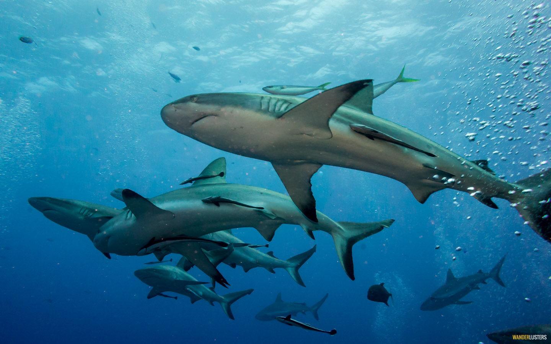 great barrier reef sharks