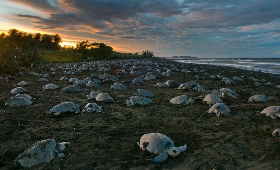 Costa Rica Top 5 Natural Wonders Ostional Wildlife Reserve Arribada
