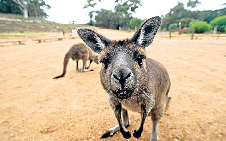 best job in the world Kangaroos in Souhh Australia