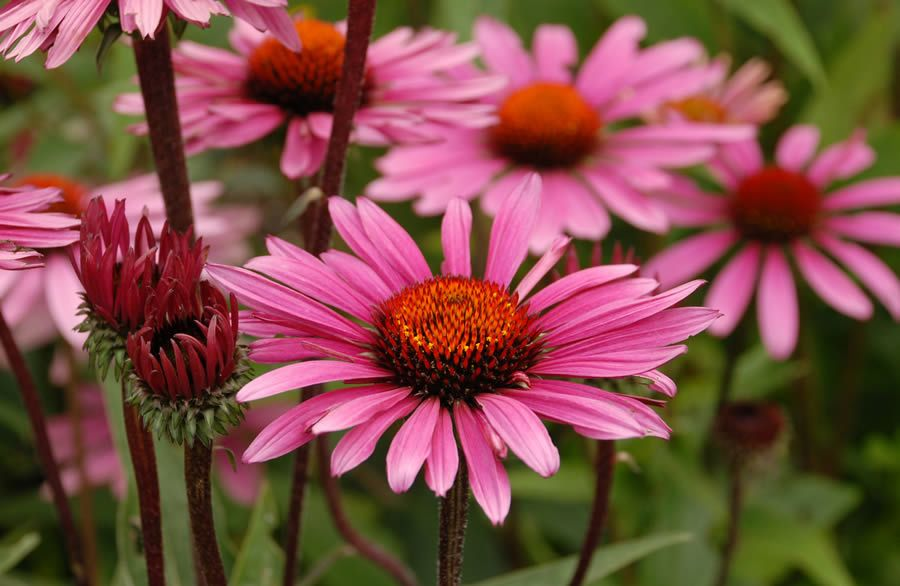 Happy Herbs For Your Backpack Echinacea Flower