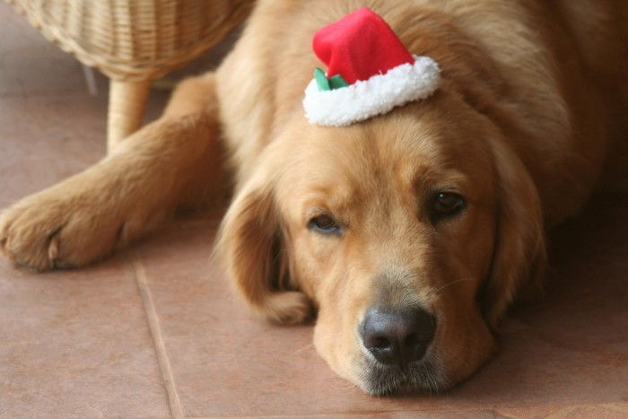 reasons-to-house-sit-christmas-4-dog-christmas-hat
