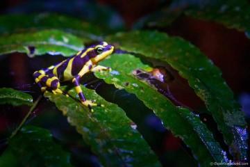 darien-poison-dart-frog-expert-vagabond
