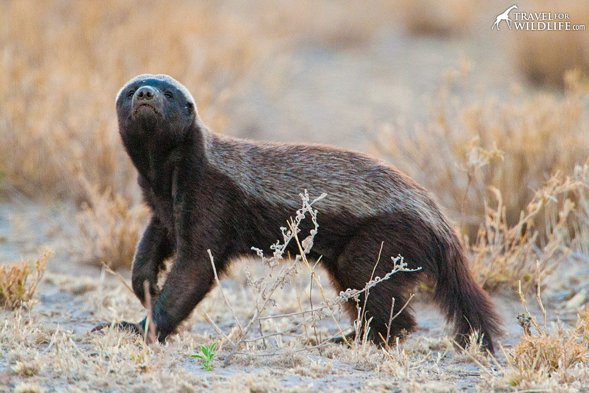 life in the kalahari honey-badger