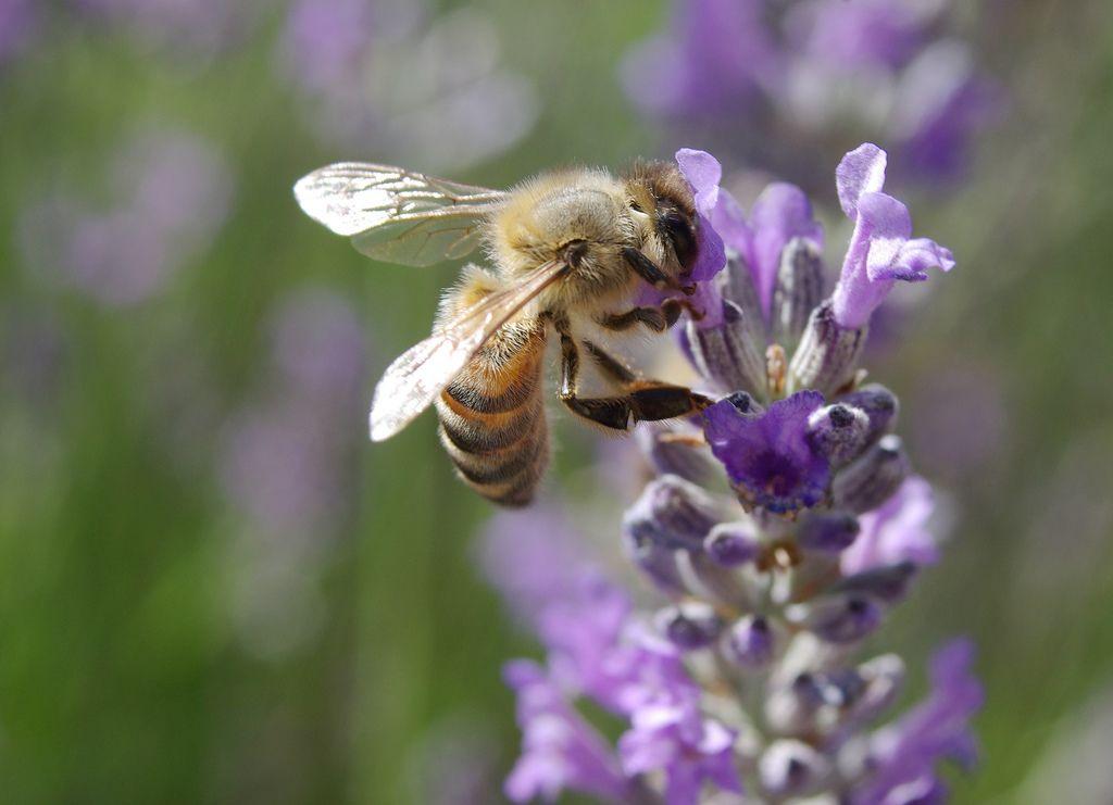 honeybee-lavendar