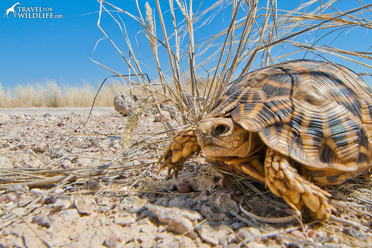 kalahari-tent-tortoise