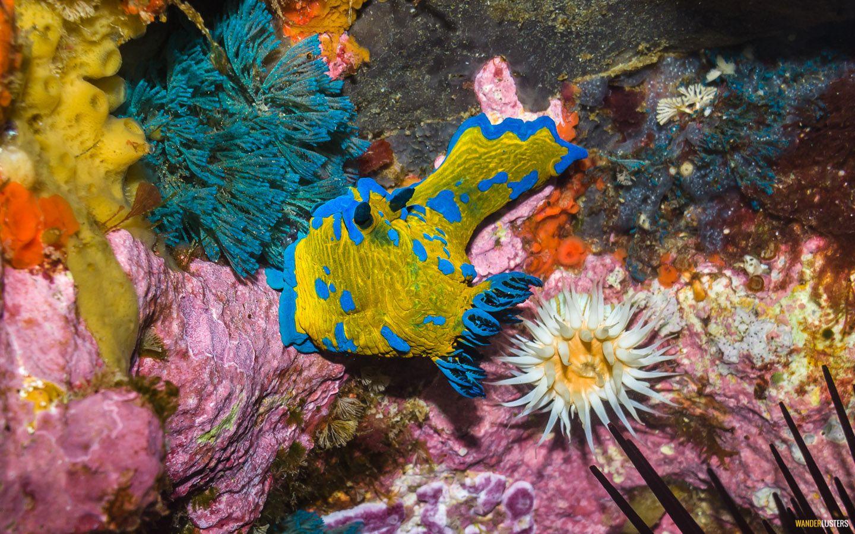 nudibranch-poor-knights-islands