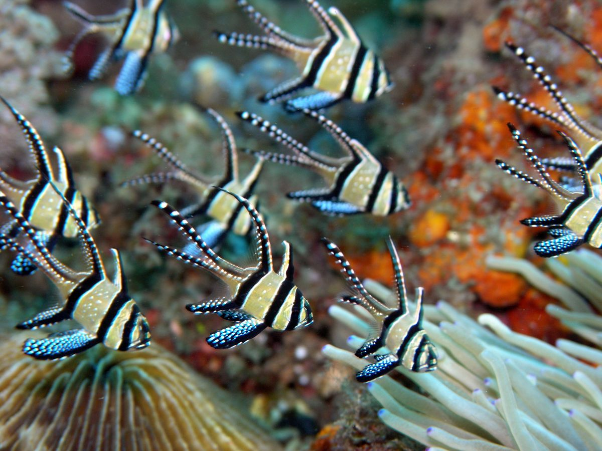 Inspiring dive sites pterapogon-kauderni