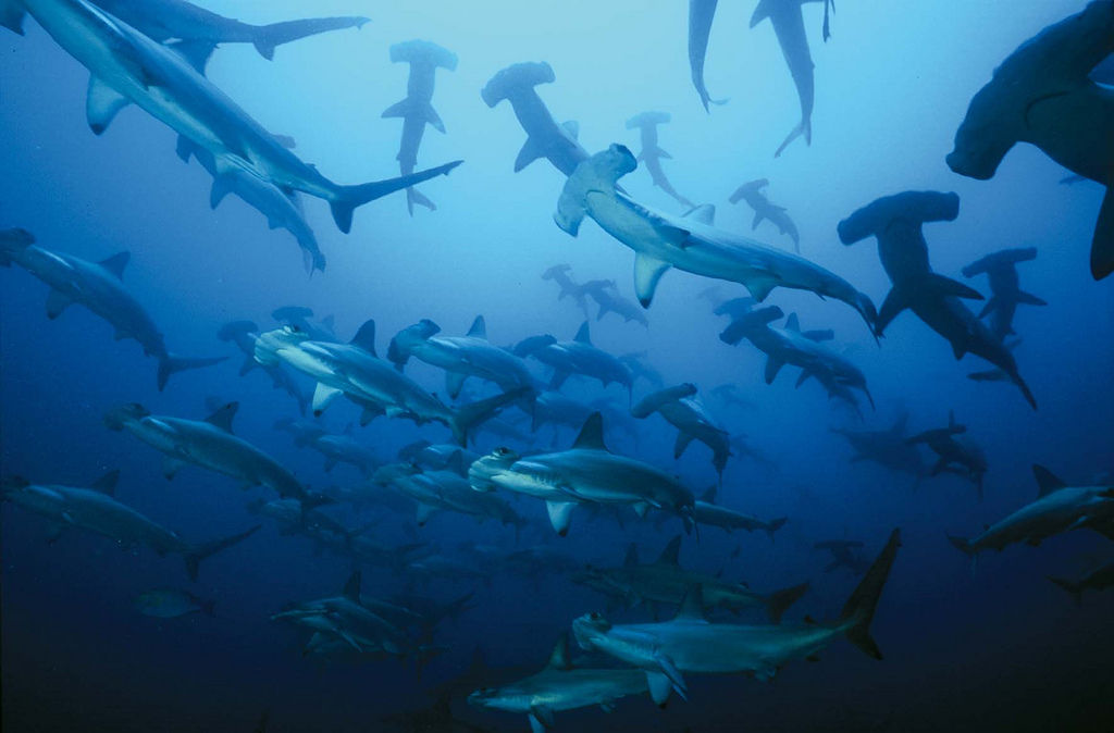 Inspiring dive sites schooling-hammerhead-sharks