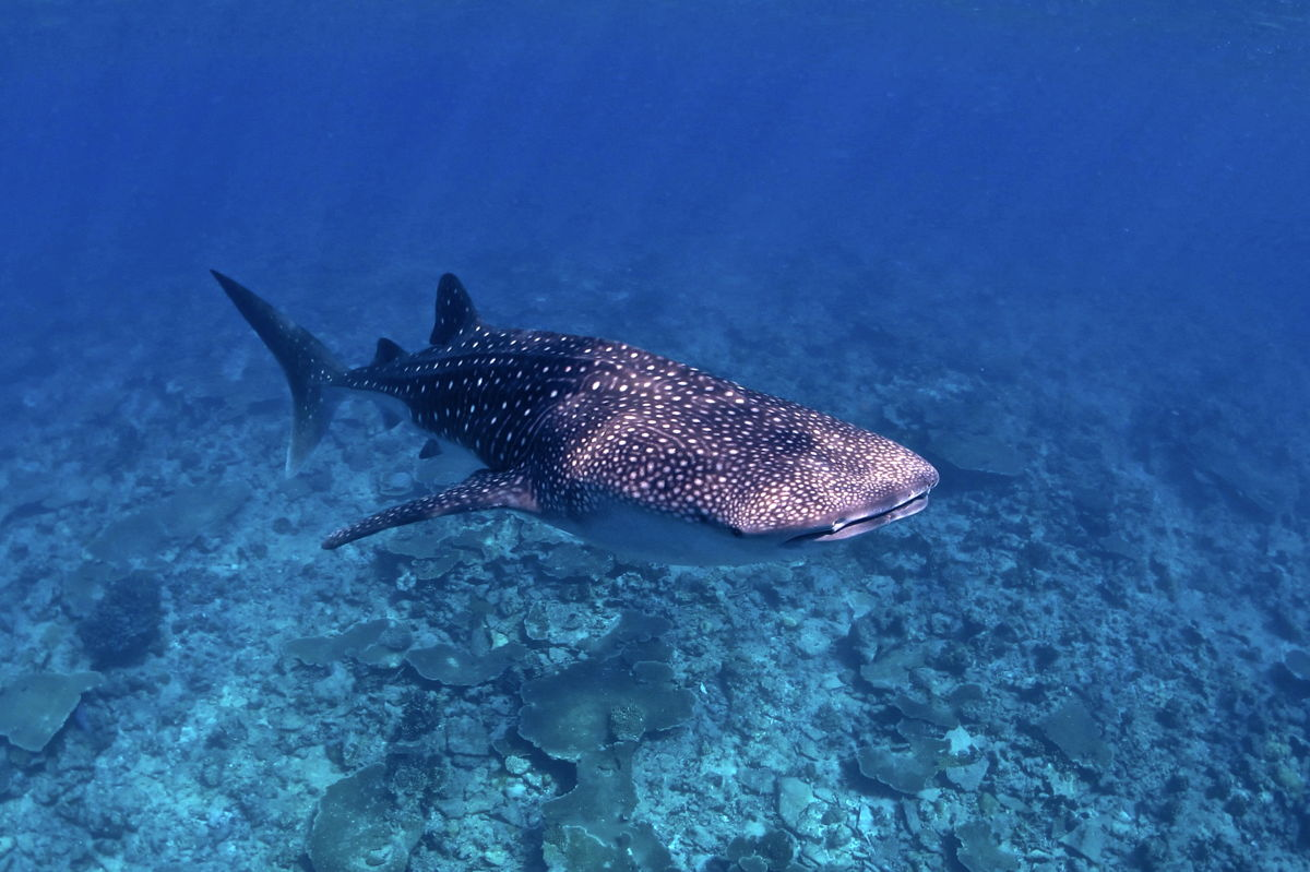 Inspiring dive sites whale-shark-maldives