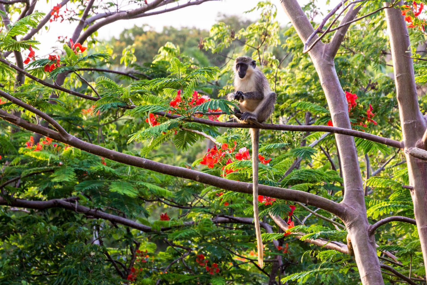 barbados-green-monkey