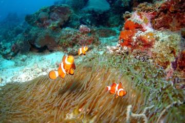 anemone-anemone