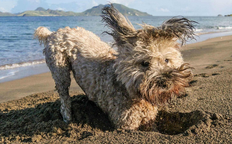 chloe-crab-digging-beach-nevis