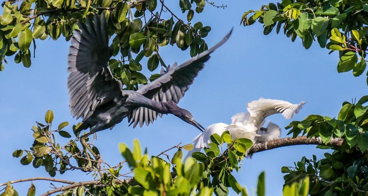 Egrets fighting in Cades Bay, Nevis
