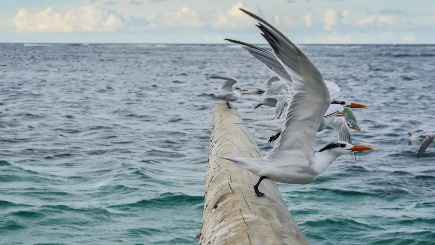 Guide To Nevis - Seagulls in Long Haul Bay